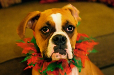 The holidays are a time to be careful and protect your pets.  Photo by Amy Glover Bryant.